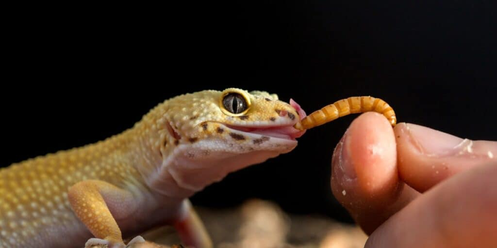 gecko eating meal worms