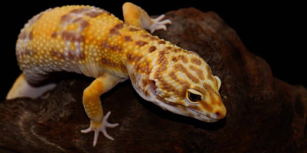 Do Geckos Lay Eggs Without Mating?