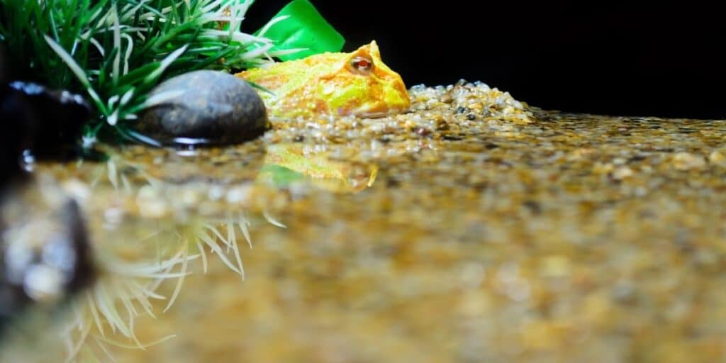What Is A Pacman Frog | Do They Make Good Pets?