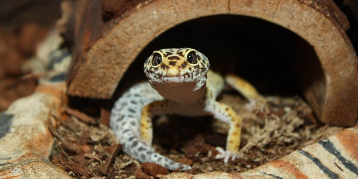 Can Baby Leopard Geckos Live With Adults
