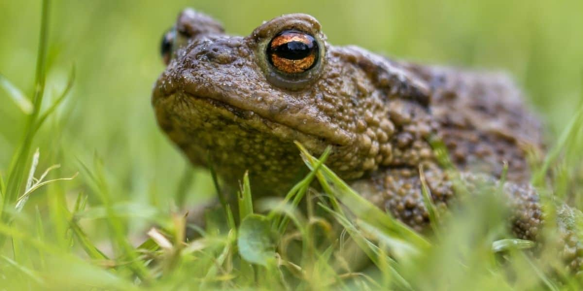 What Do Toads Eat